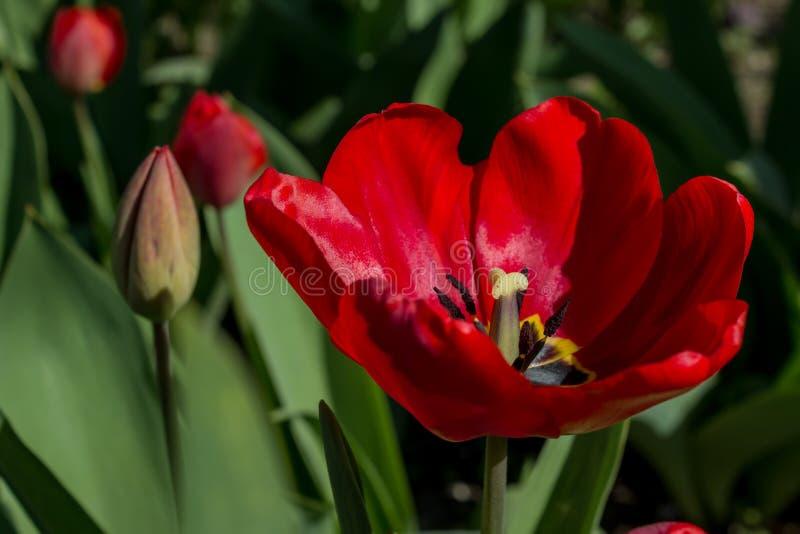 使用浅焦点的红色鹦鹉郁金香花特写镜头在软的照明设备 库存图片