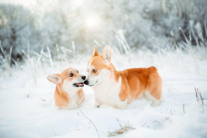 使用滑稽的愉快的彭布罗克角威尔士小狗的狗,快速连续室外在雪,随风飘飞的雪冬日 免版税库存照片