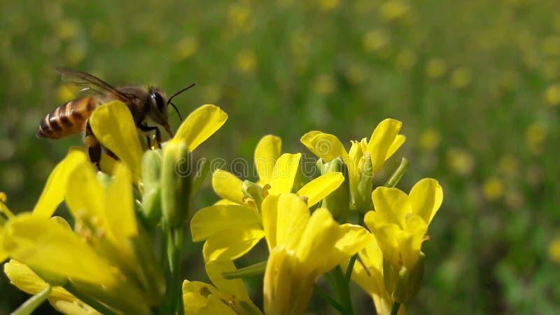 使用用向日葵的一只飞蛾 免版税库存图片