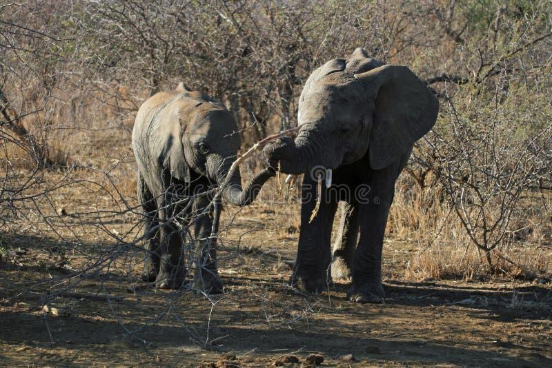 使用用棍子的两头大象小牛的 免版税图库摄影