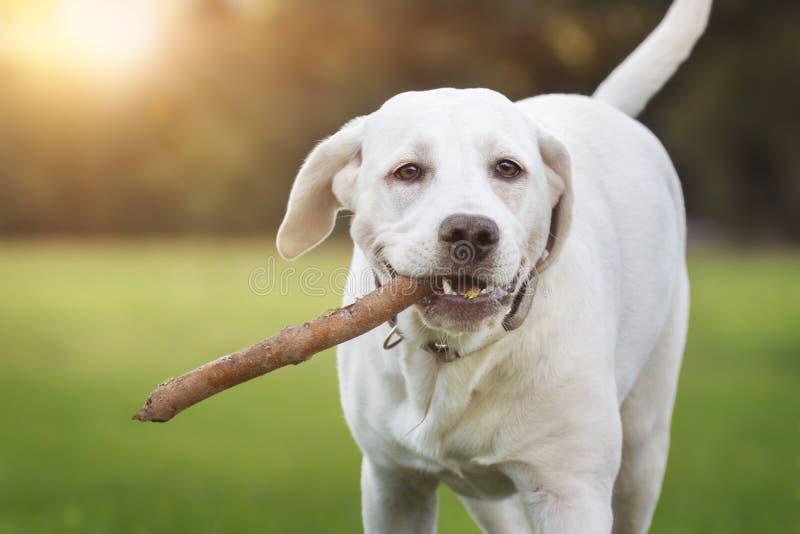 使用用棍子的幼小拉布拉多猎犬狗 免版税库存照片