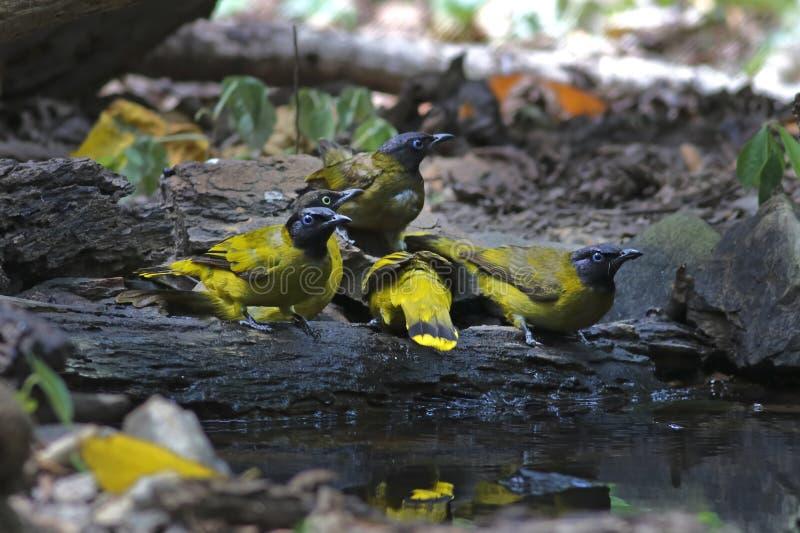 使用用水的黑带头的歌手Pycnonotus atriceps鸟 库存照片