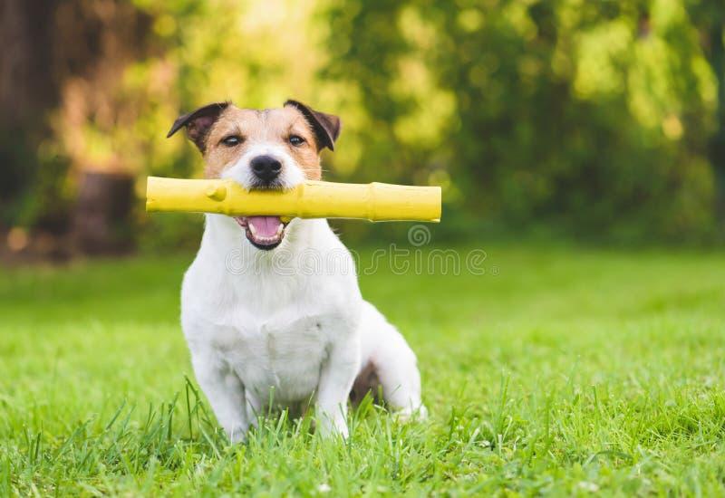 使用用象小狗的玩具棍子的愉快的家养的成人狗在夏天后院草坪 库存图片