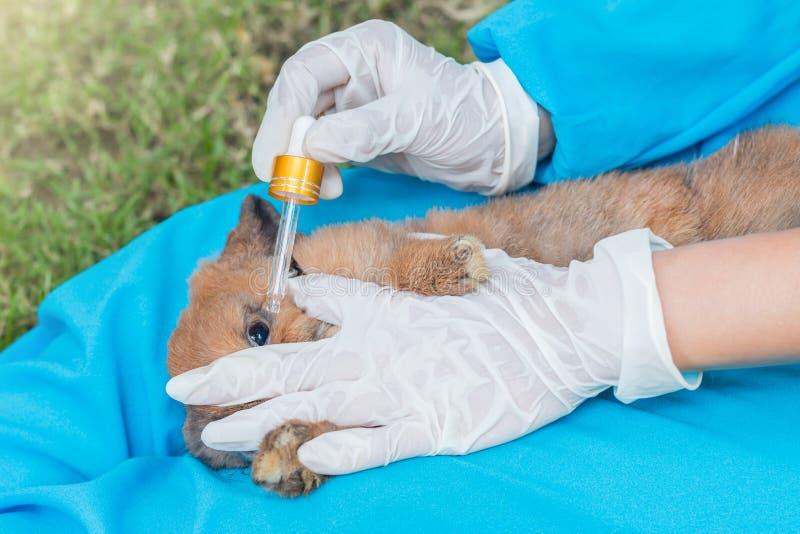 使用眼药水的兽医为治疗兔子 库存图片
