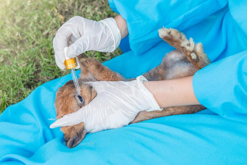 使用眼药水的兽医为治疗兔子 免版税库存图片