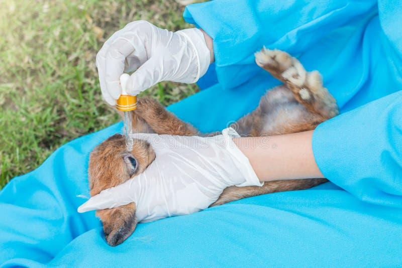 使用眼药水的兽医为治疗兔子 库存照片