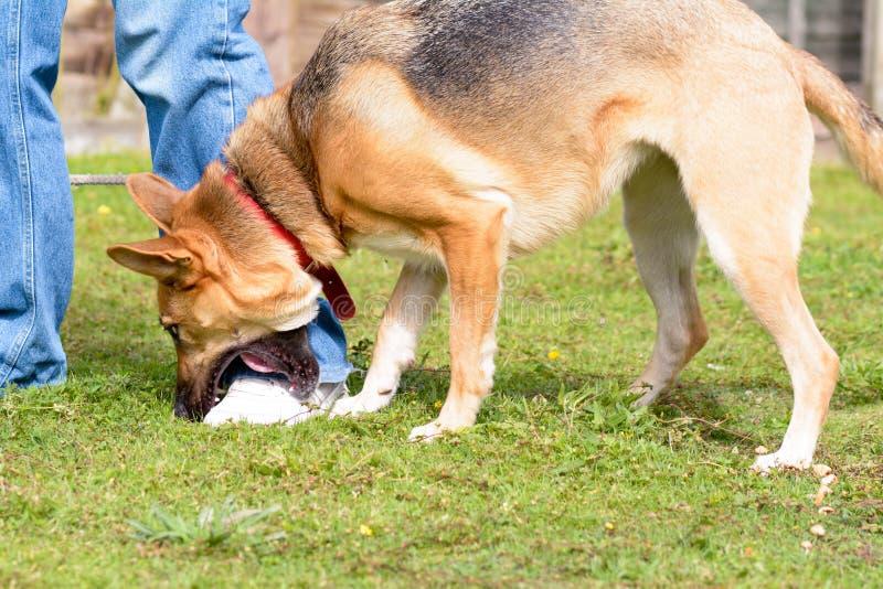 使用通过嚼的杂种狗所有者鞋子 库存图片