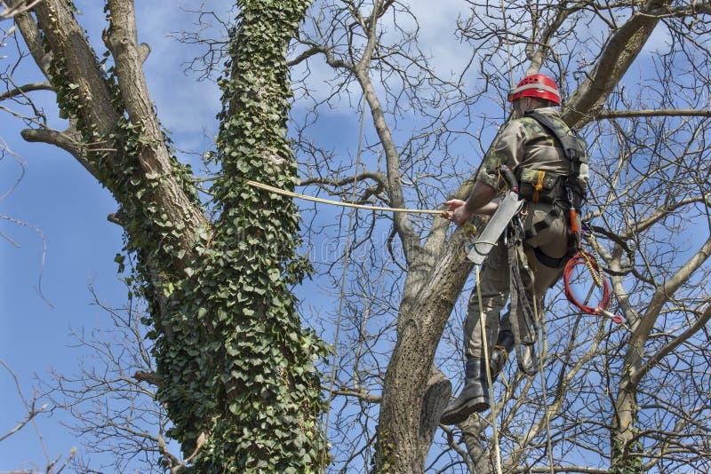 使用锯的树木栽培家砍核桃树 免版税库存照片