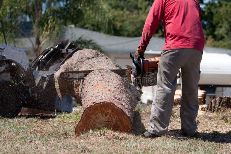 使用锯的树整理者在杉树日志 免版税库存照片