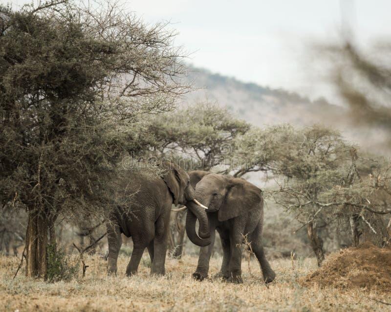 使用年轻的大象,塞伦盖蒂,坦桑尼亚 图库摄影