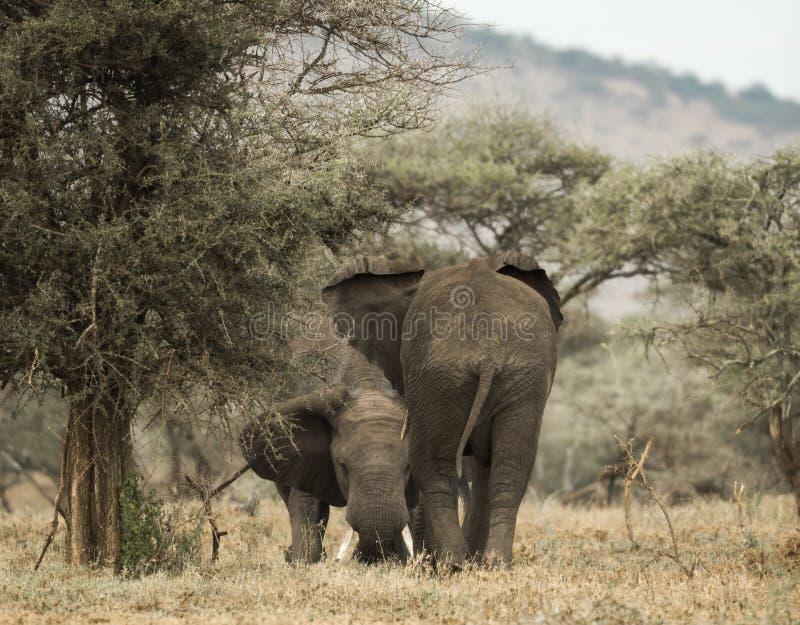 使用年轻的大象,塞伦盖蒂,坦桑尼亚 免版税库存照片