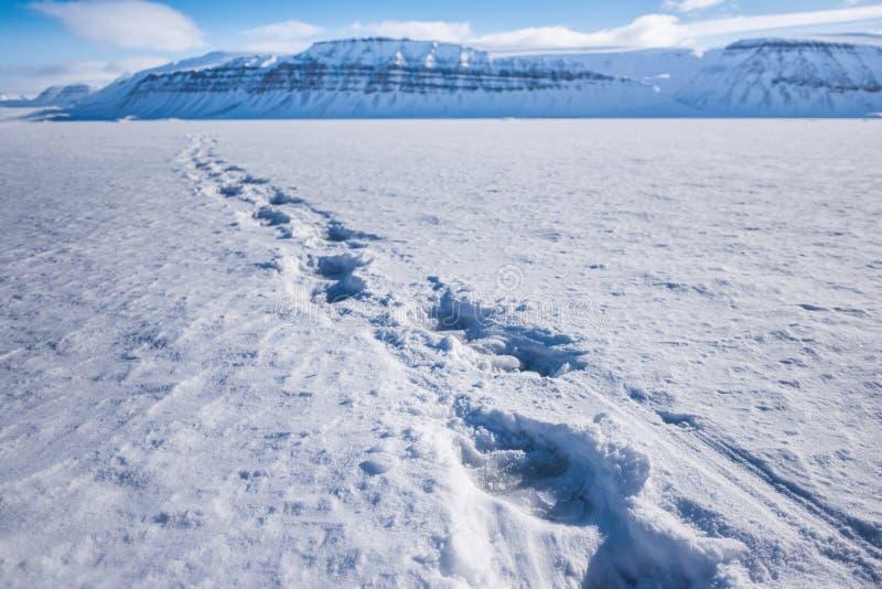 使自然在卑尔根群岛朗伊尔城斯瓦尔巴特群岛北极冬天极性阳光天天空冰川的北极熊轨道环境美化  库存图片