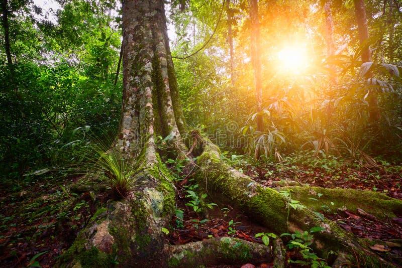 使雨林国家公园蒂卡尔环境美化在危地马拉在日落 库存照片