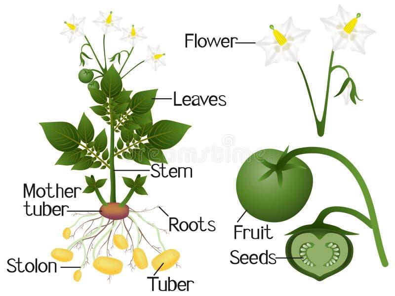 例证显示土豆植物的部分 皇族释放例证