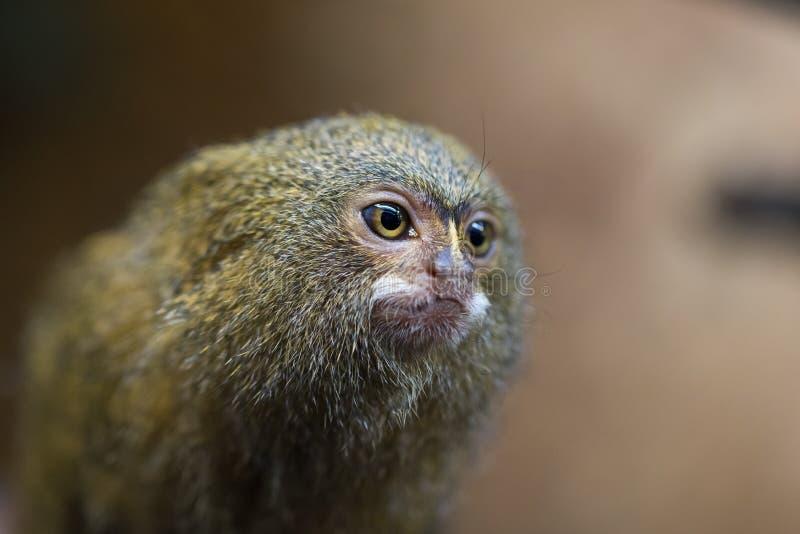 侏儒狨或Cebuella pygmaea 库存图片