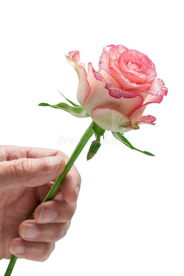 供以人员拿着一朵桃红色玫瑰,在白色背景的` s手 库存图片