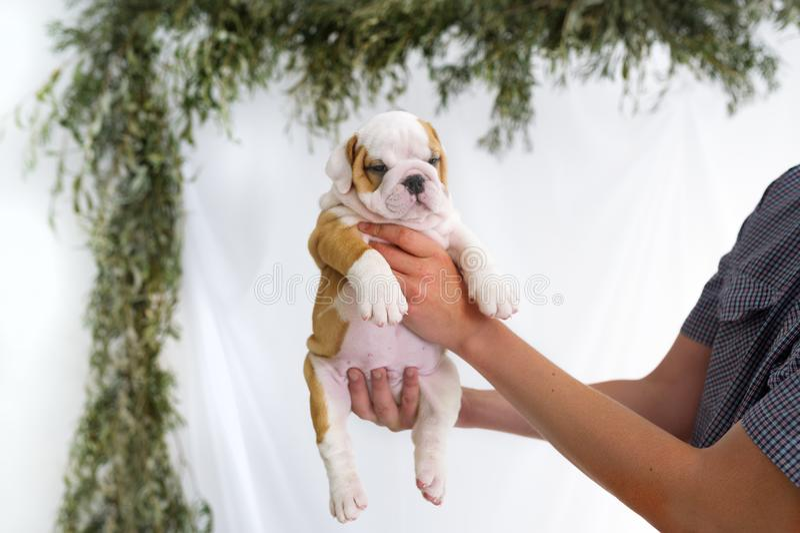 供以人员拿着英国牛头犬逗人喜爱的小狗在手上 库存照片