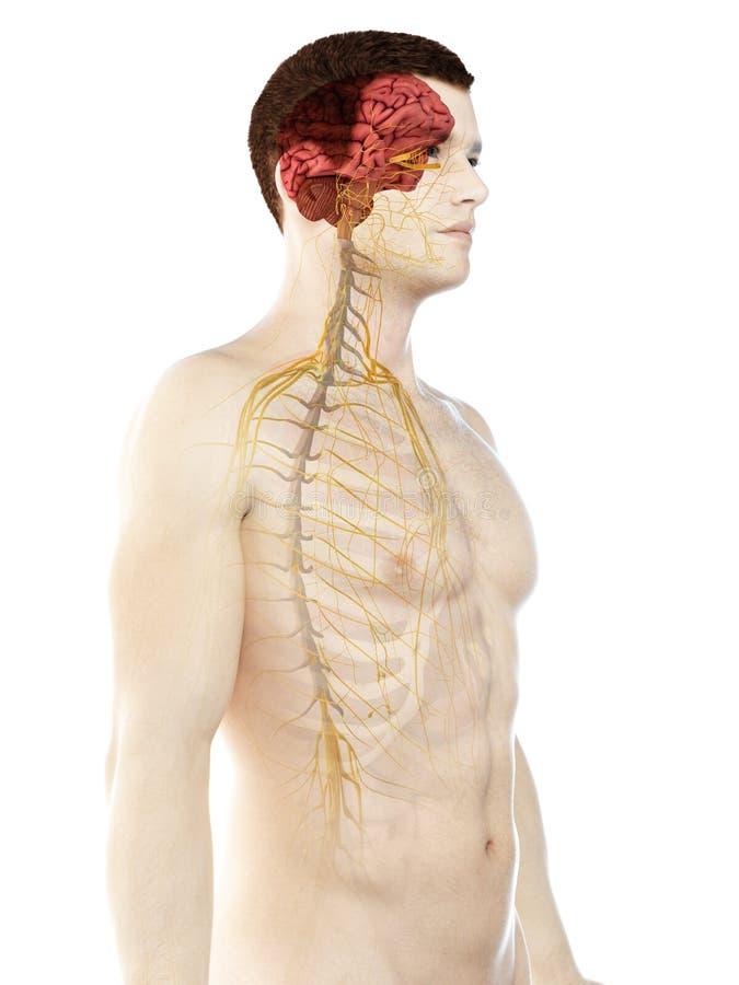 供以人员神经系统 皇族释放例证