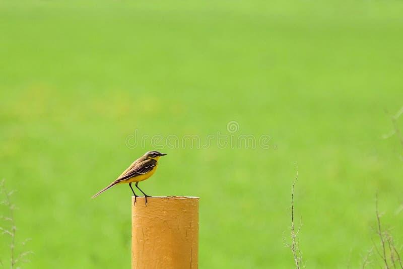 供以座位的小的黄色令科之鸟 库存照片