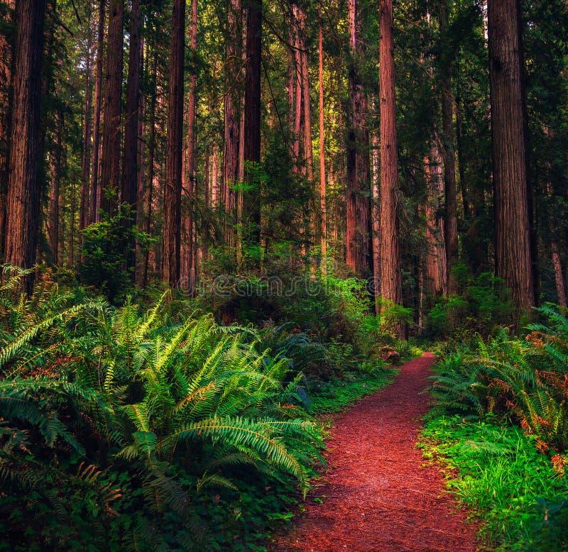 供徒步旅行的小道通过一个红木森林在加利福尼亚北部 图库摄影