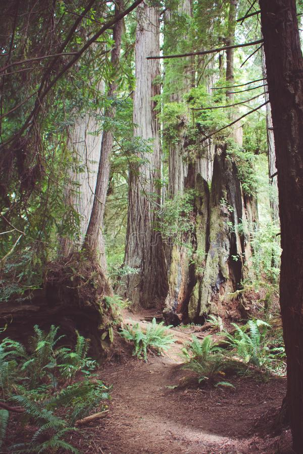 供徒步旅行的小道通过原始林森林在红木国立公园在加利福尼亚 免版税库存图片