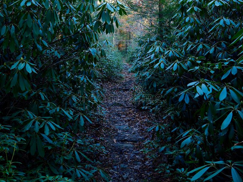 供徒步旅行的小道通过山月桂黑暗的森林图片