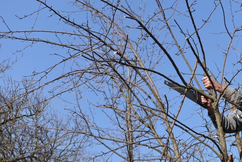 供以人员削减一棵树的分支与锯的 免版税图库摄影