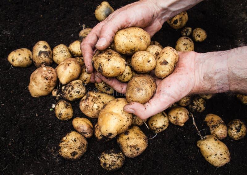 供以人员拿着土豆的手 免版税库存照片