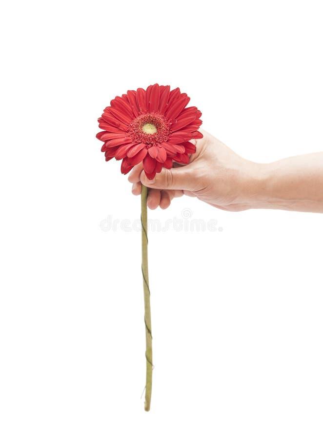 供以人员拿着红色大丁草雏菊的手 免版税库存图片