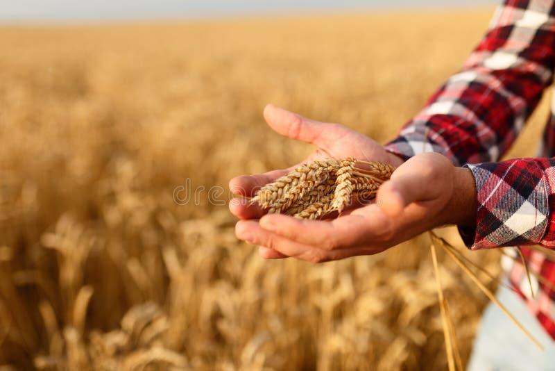 供以人员握麦子的耳朵在背景的麦田 农艺师农夫对他的富有的收获的庄稼关心  库存照片