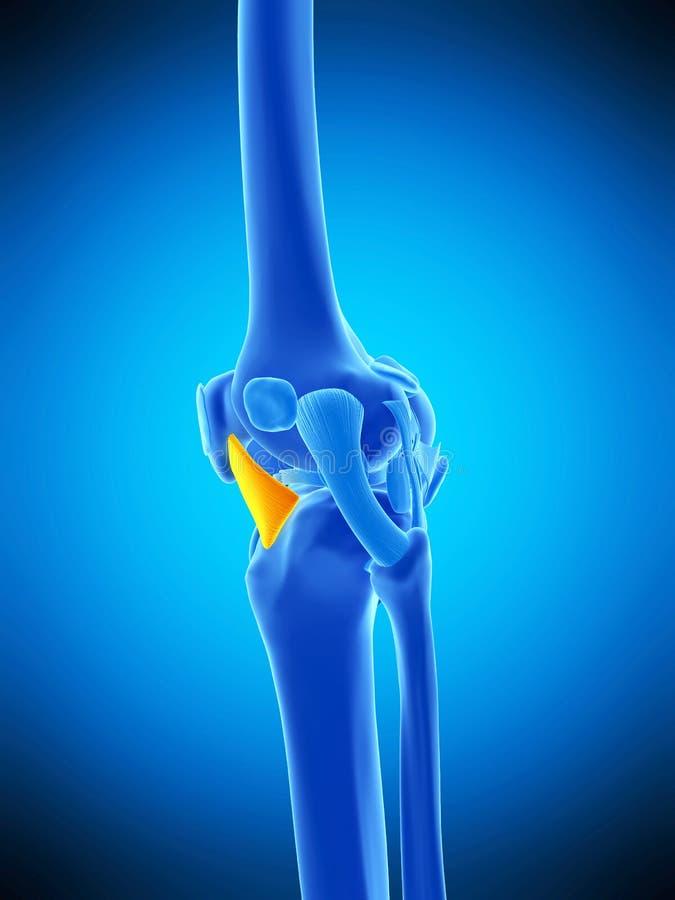 侧向膝盖骨的韧带 皇族释放例证