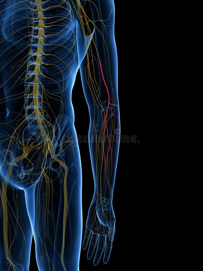 侧向Antebrachial皮肤神经 向量例证