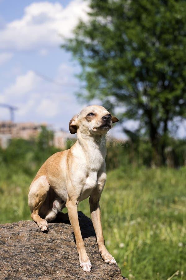 俄国光滑上漆的玩具狗坐在骄傲的孑然的一块石头 免版税库存图片