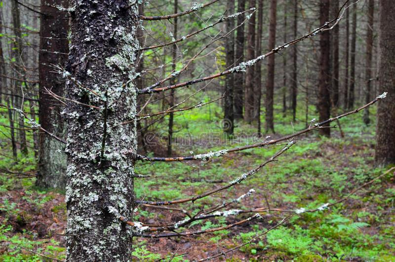 俄国普通的不通的森林西伯利亚taiga 免版税库存照片
