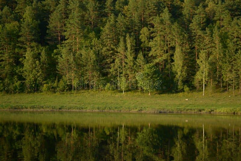 俄国森林 图库摄影