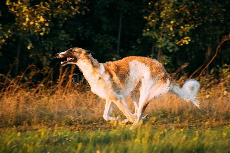 俄国狗,俄国猎狼犬快速的赛跑在夏天日落日出草甸 图库摄影