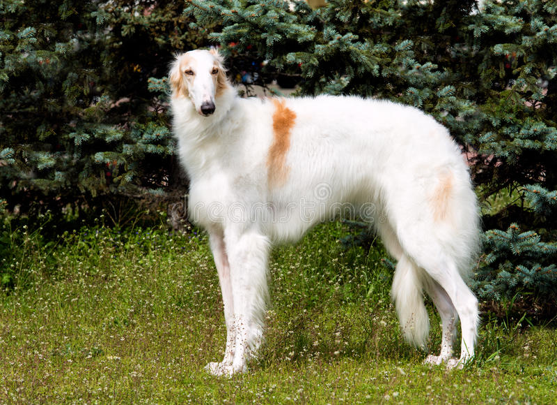 俄罗斯猎狼犬_俄罗斯猎狼犬价格_猎狼犬