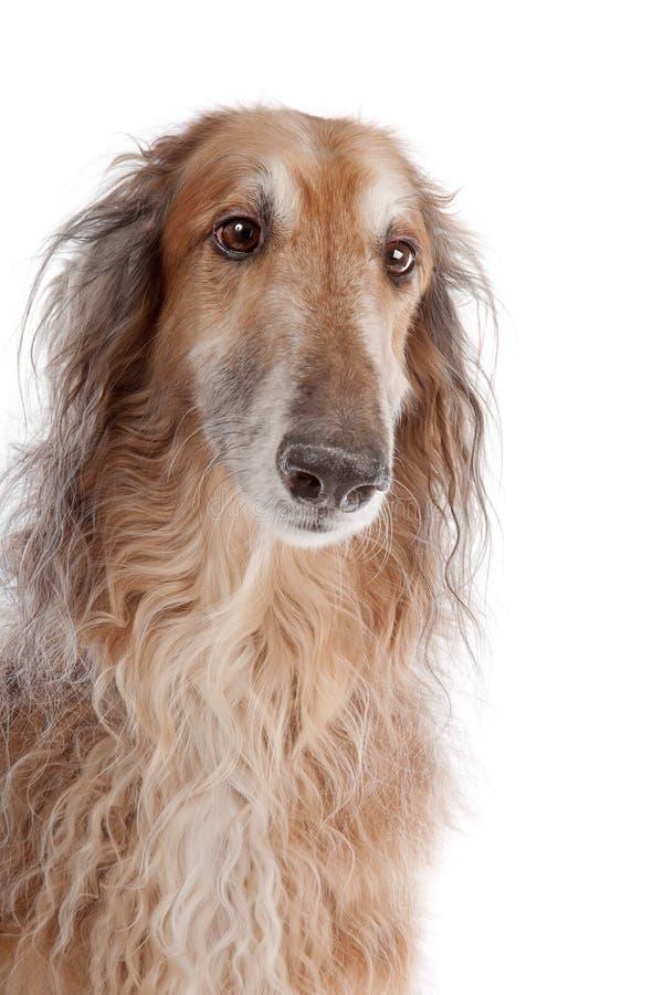 俄国猎狼犬俄语猎狼犬 免版税图库摄影