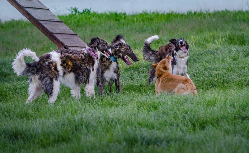 俄国猎狼犬寻找什巴Inu IV 免版税库存图片