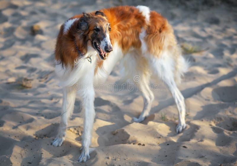 俄国猎狼犬狗,在沙子的俄国猎狼犬, Sighthound 库存图片