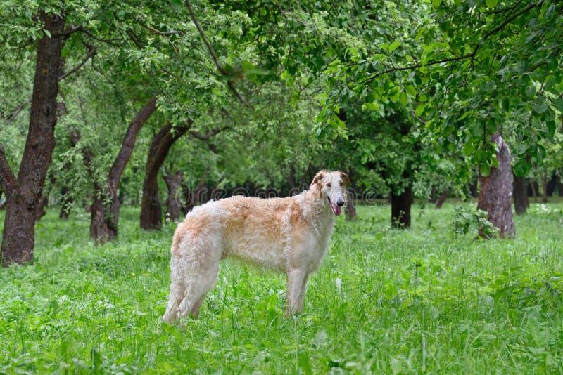 猎狼犬_俄罗斯猎狼犬_爱尔兰猎狼犬