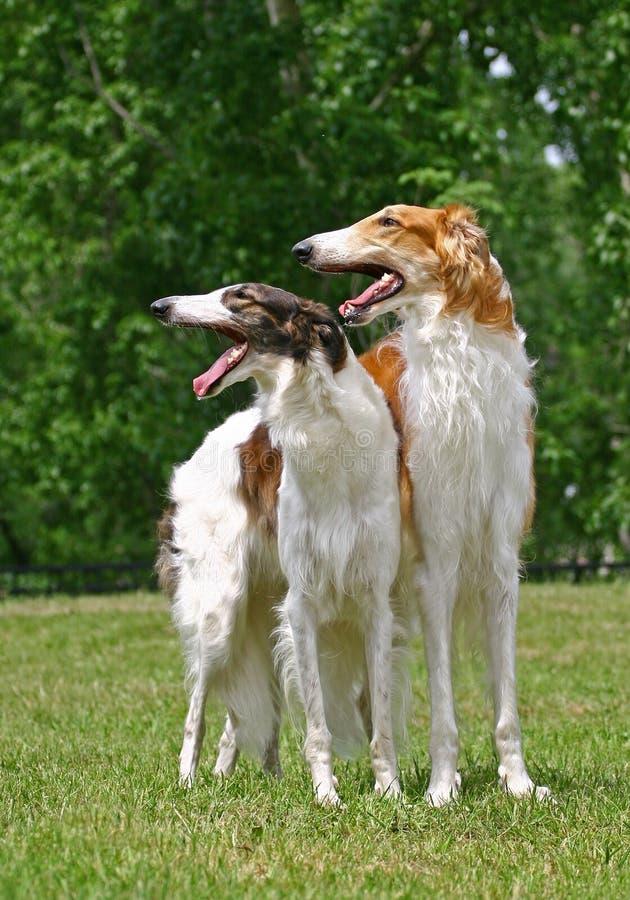 俄国猎狼犬 免版税图库摄影