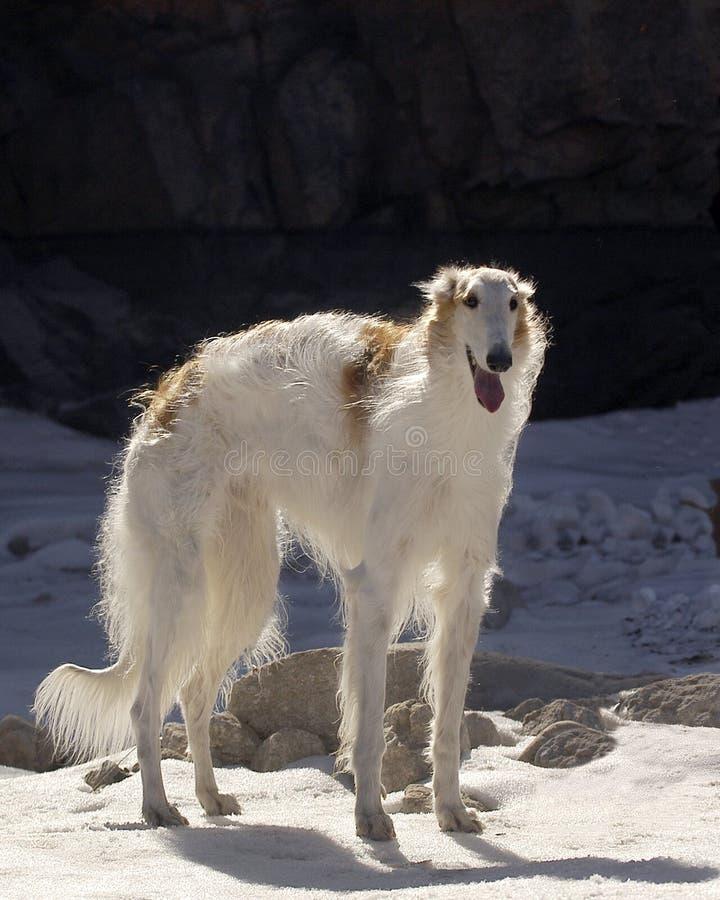 俄国猎狼犬 免版税库存图片