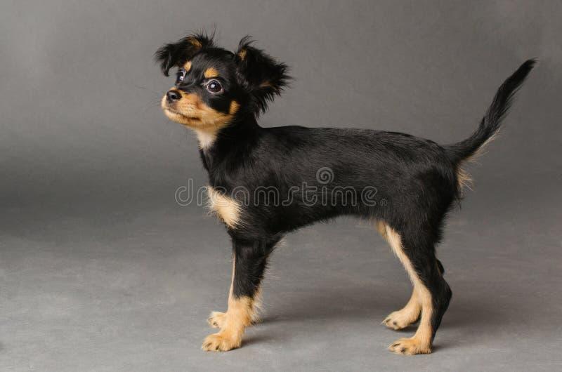 俄国玩具狗逗人喜爱的小狗在灰色背景的 免版税图库摄影
