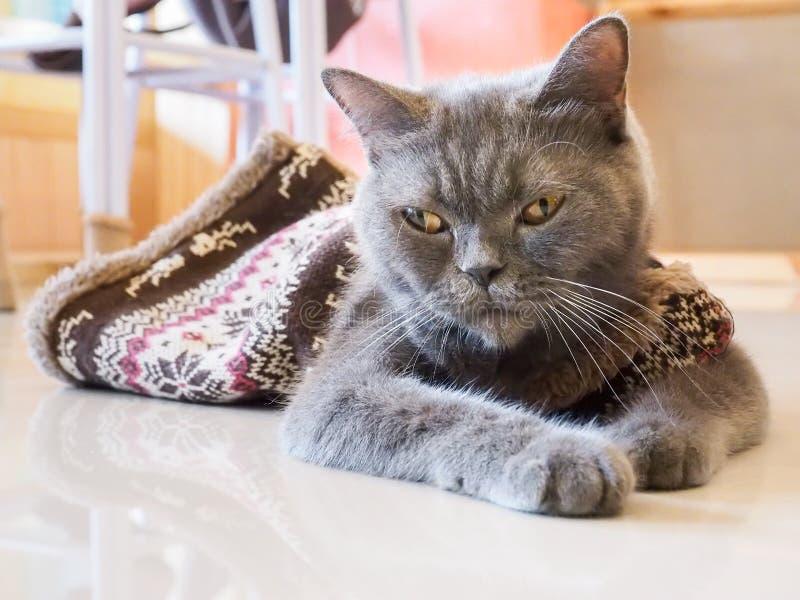 俄国蓝色猫半眯着的眼睛 库存照片