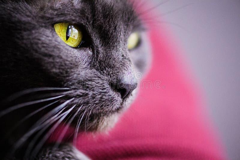 俄国蓝色猫,与黄色眼睛 免版税图库摄影