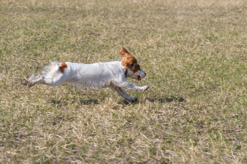 俄国西班牙猎狗狗在春天领域的飞行的阶段 免版税库存照片