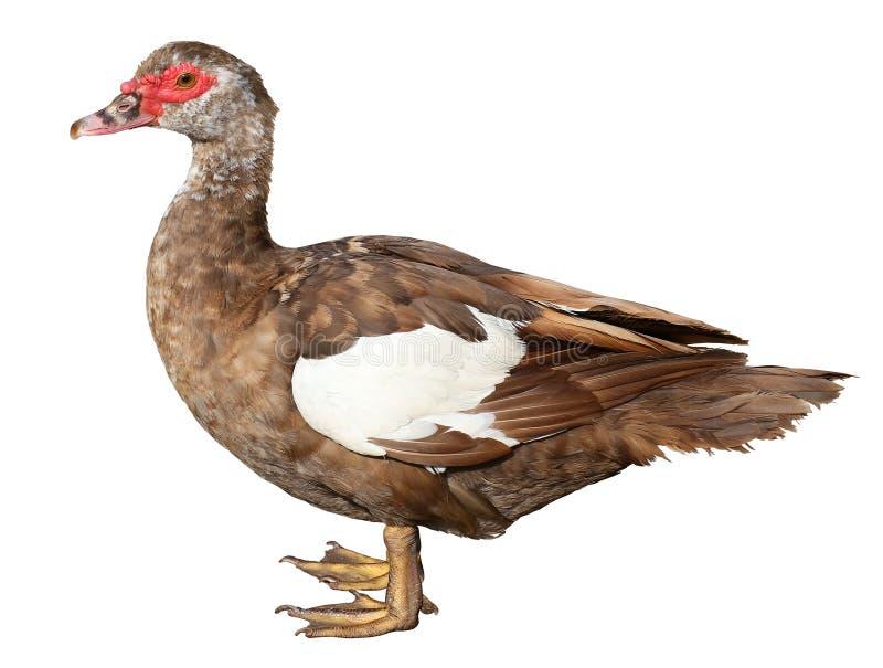 俄国鸭子在与裁减路线的白色背景隔绝的Cairina moschata 库存图片