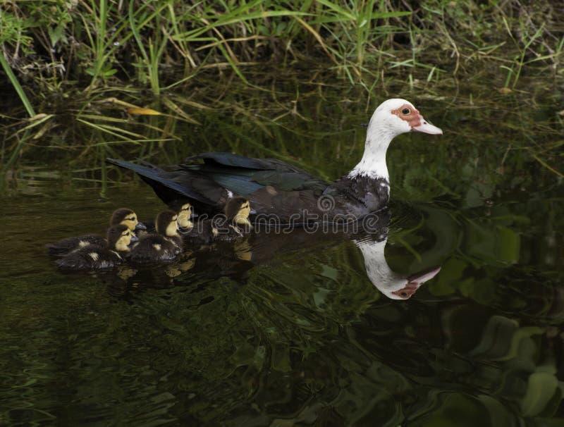 俄国鸭子游泳用五只鸭子 免版税库存图片