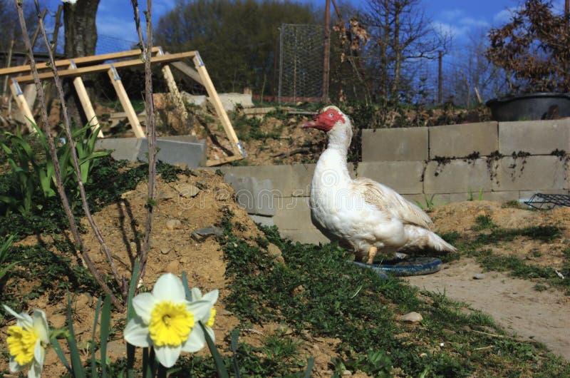 俄国鸭子雄鸭在春天庭院里 库存照片